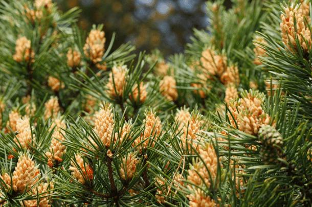 Pólen de pinheiro – uma forma de equilibrar seus hormônios