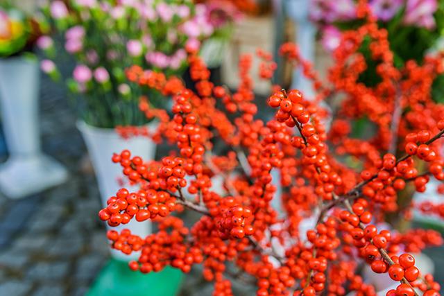 Buffaloberry – Descubra seus benefícios, origens e usos.