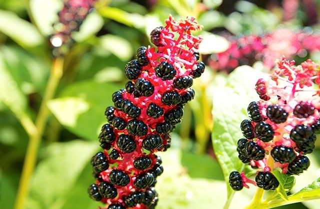 Phytolacca – Usos, benefícios e origem.