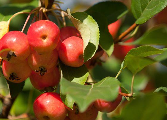 Maçã silvestre – fontes, benefícios para a saúde, nutrientes, usos e constituintes