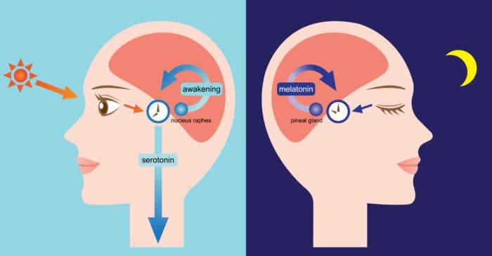 A melatonina prolonga sua vida!